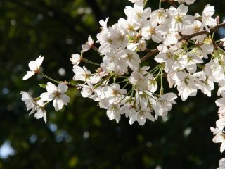 A nice sakura branch at the Imperial Palace.