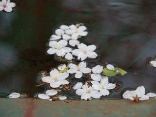 Sakura petals in a wheel barrow filled with water from a recent rainfall.