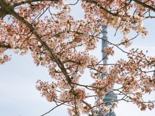 Sakura blooms in Asakusa with the Tokyo Skytree in the distance.