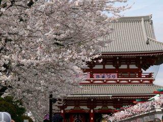 Sakura trees lining the laneway of shops in Asakusa.