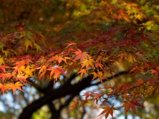 Great variety of colours on this maple tree