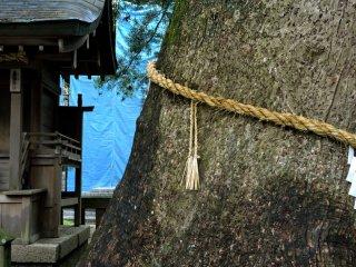 900 year old camphor tree