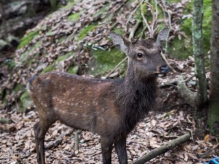 One of the many wild deer at Miyajima, they are not as tame as the ones in Nara so do not go and hug them!