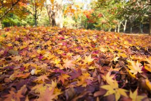 Gorgeous carpets of red and golden leaves