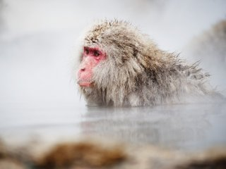 A macaque bathing