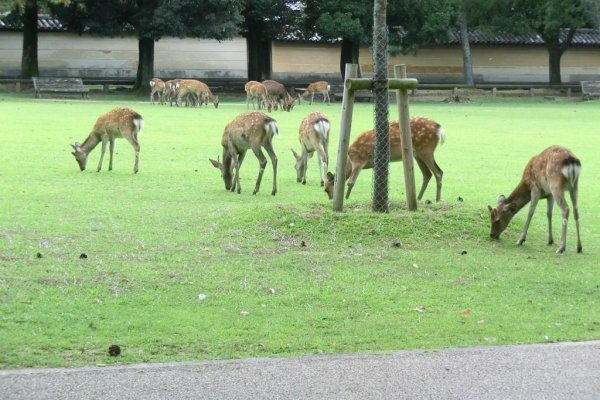 Some of the 1300 deer in Nara park
