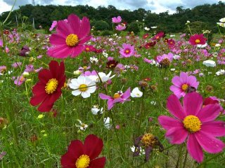 Beautiful cosmos flowers growing in fields- pay small entry fee to enjoy