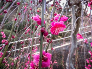 During early spring many beautiful Plum Blossoms can be seen