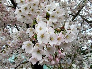 Sakura flowers appear before leaves - it's amazing!