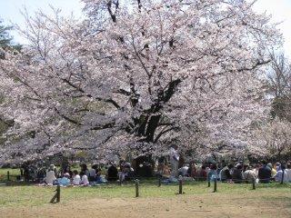 Hanami picnics are everywhere in Japan