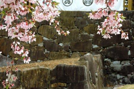 Cherry Blossoms at Kofu Castle