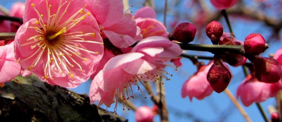 田園に乱れ咲く小田原の梅の花
