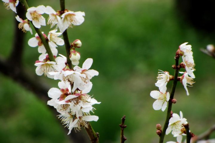 Kairakuen: Plum Blossoms and More