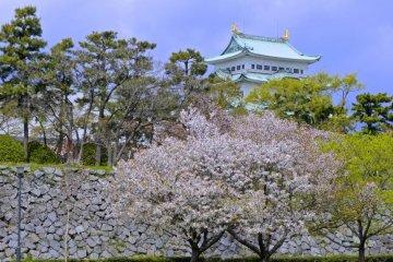 Сезон цветения сакуры в замке Нагоя