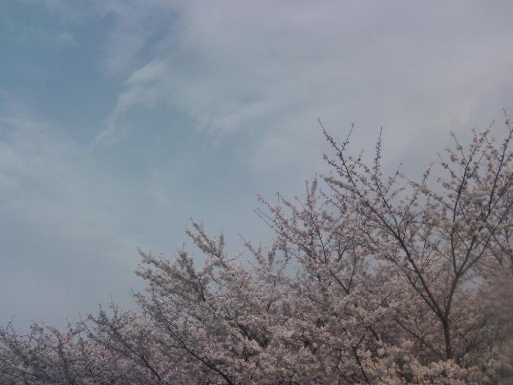 Spring means cherry blossom season