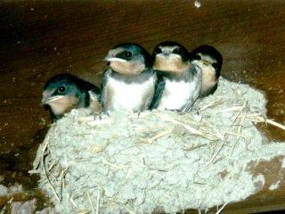 นกกระจอกบนเส้นทางระหว่างมะโกะเมะและซึตมะโกะ