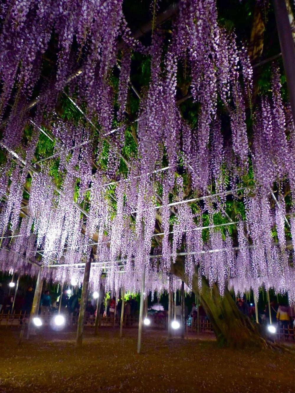 Un árbol de glicina Oh-nagafuji de noche