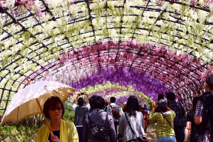 Wisteria at Kawachi Fujien