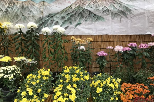 Japan\'s national flower takes pride of place at this festival in mountainous Niigata