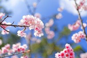 Yaese cherry blossom