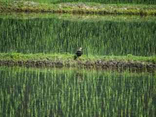 Watch out for ducks swimming in the rice fields!