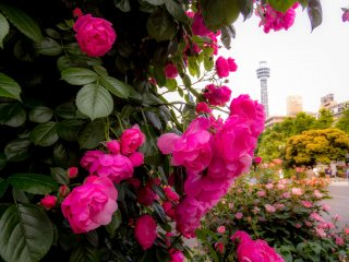 Pink roses in the foreground well compliment Yokohama's Marine Tower in the background