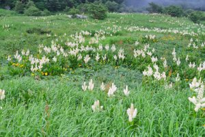 Fields of Kobaikeiso (White Hellebore)