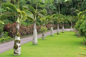 Bottle palms line the edge of a well maintained grass bed along the road the park tram travels