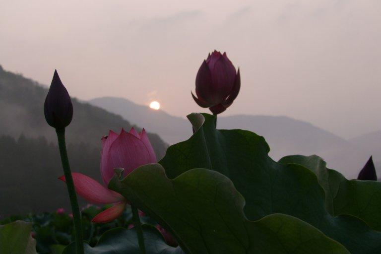 Le Paradis des Lotus à Fukui