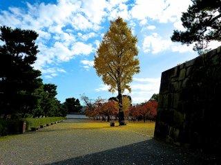 Ginkgo tree in the plum tree garden