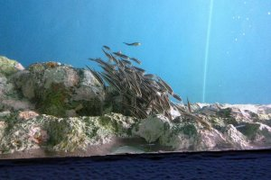 Estes peixes viajam sempre em grupo, mesmo que não haja predadores por perto