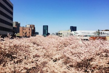 Tokyo Private Cherry Blossoms Tour with Local Guide