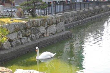 <p>A swan enjoying a dip</p>