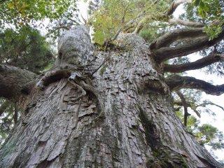 이 큰 삼나무는 500년 전 야쿠도에서 옮겨온 것이다