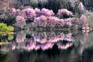 Sakura at Lake Nakatsuna in Nagano