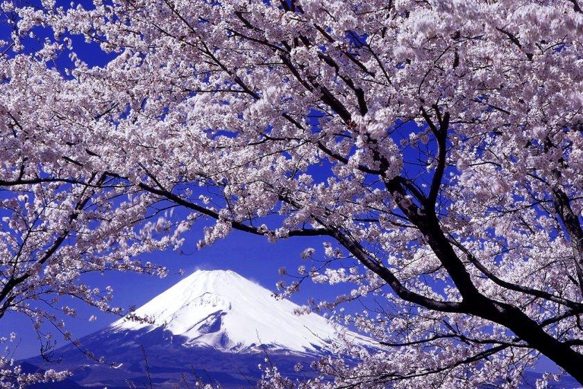 Cảnh hoa anh đào nổi tiếng trên nền núi Phú Sĩ.