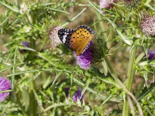 Thistle are also common near the pond, to the delight of butterflies