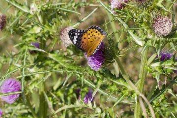 연못 근처의 엉겅퀴와 나비