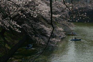 <p>คูรอบวังสามารถเช่าเรือพายไปดูซากุระใกล้ๆจากในน้ำได้</p>