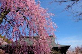 Kyoto Tenryu-ji Temple in Spring