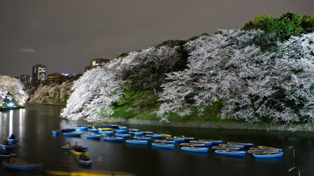 Cherry blossoms at its peak aroundChidorigafuchi in Tokyo.If you have time and company, take a rowboat and enjoy the flowers from the water.