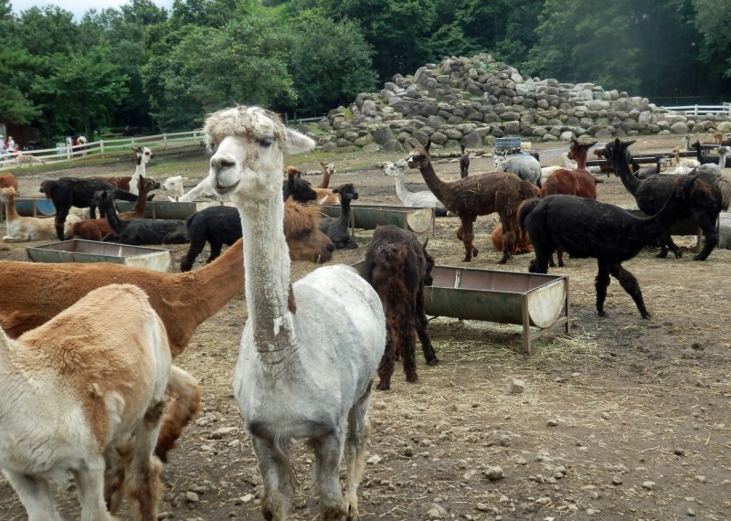 <p>Various kinds of alpacas can be observed</p>