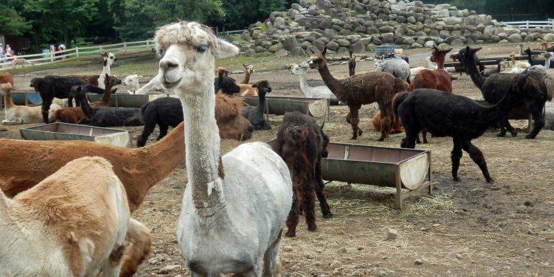 The largest alpaca farm in japan tochigi japan travel for Alpaca view farm cuisine