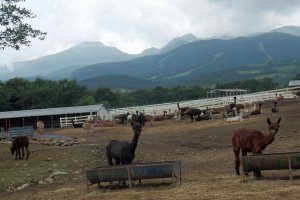 Nasu Alpaca Farm on the Nasu Plateau