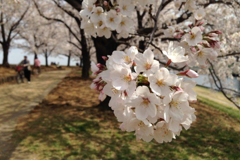 Flores de cerejeira em Akabane
