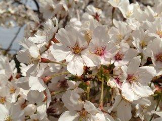As flores de cerejeira que os japoneses tanto amam, a apanhar um belo banho de sol