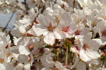 <p>和煦的阳光和绽开的樱花都是日本人所钟爱的事物。</p>