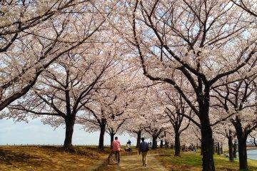 <p>在樱花树下漫步,那些烦恼疲惫也都就此消失不见了。</p>