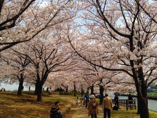 Apreciar as flores de cerejeira é uma das coisas que os japoneses mais gostam de fazer