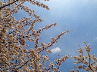 Nada como um belo céu azul para apreciar as flores de cerejeira
